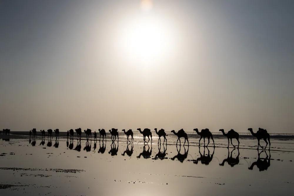 Camels Trekking Across the Salt Flats