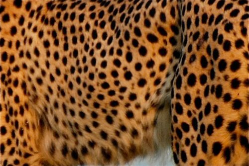 The spotted coat of a cheetah