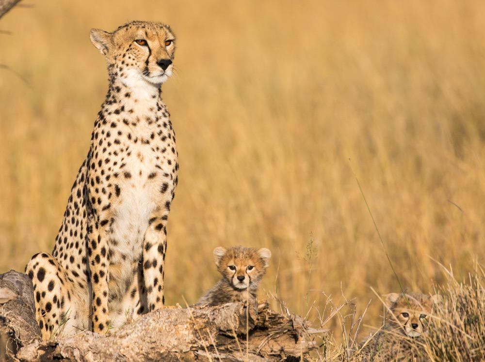 Cheetah-and-cubs