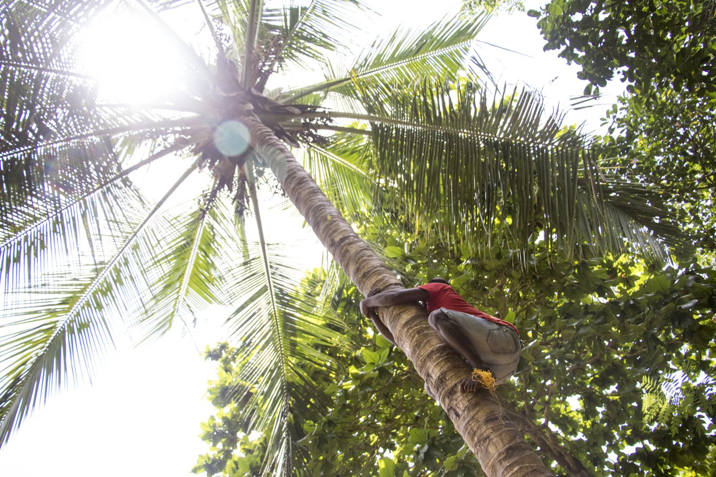 Coconut Climbing in Zanzibar
