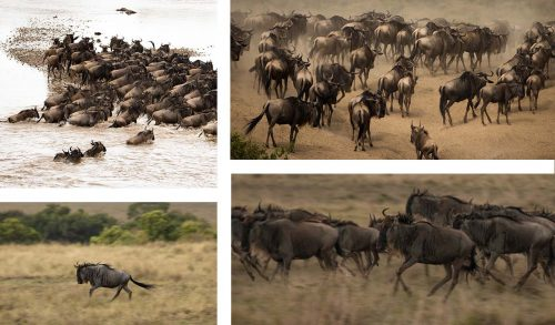 Wildebeest on the move from the Serengeti into the Maasai Mara