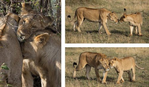 Lions bonding in their own unique way