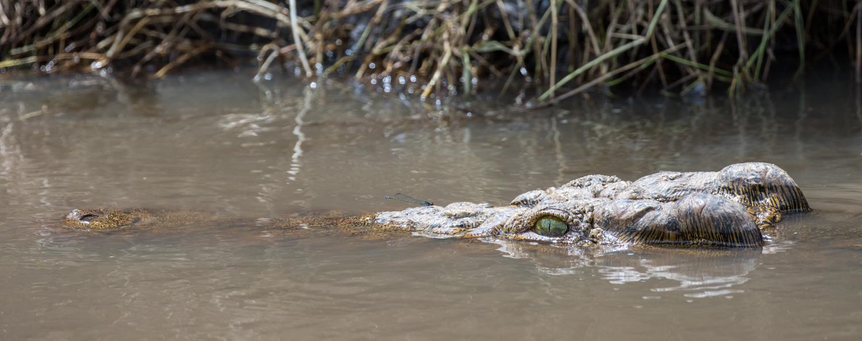 Croc & Dragonfly
