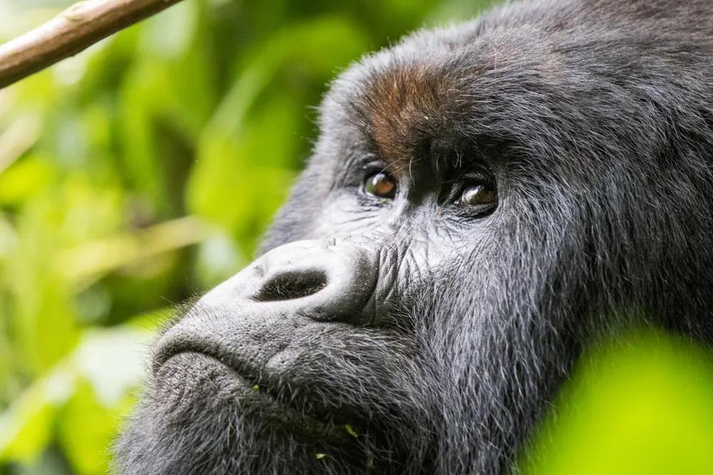 drc-mountain-gorilla-face