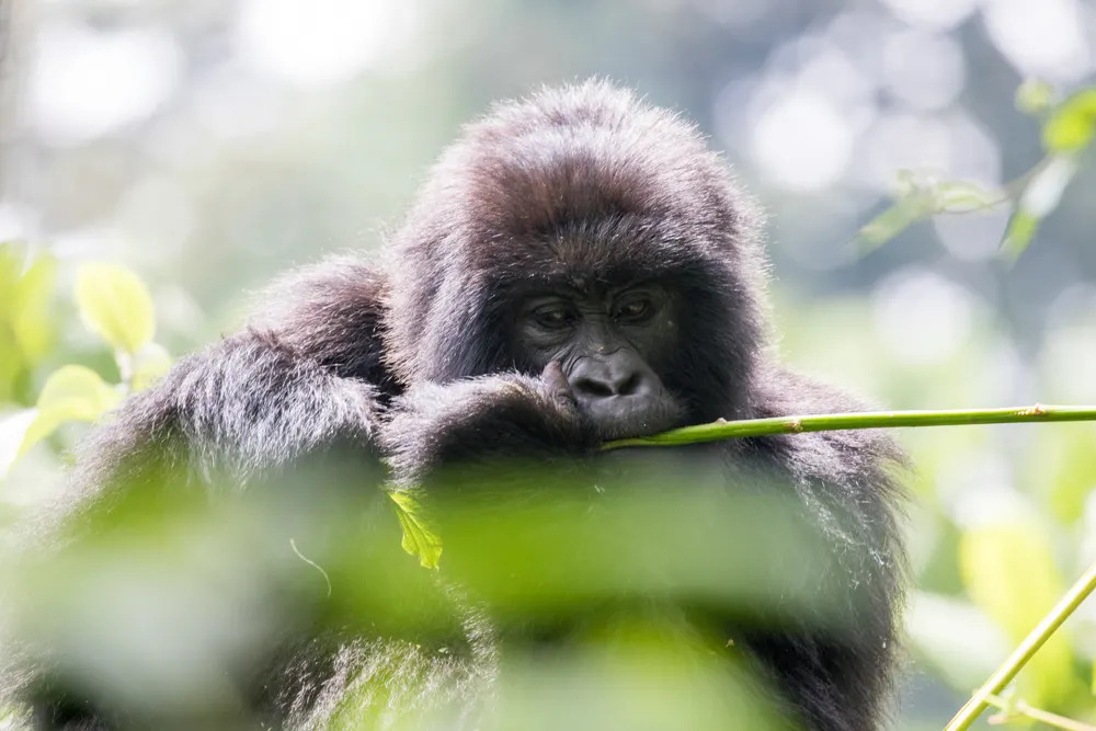 drc-mountain-gorilla-fur