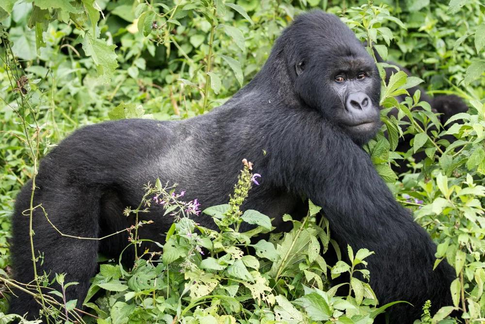 drc-moutain-silverback-gorilla