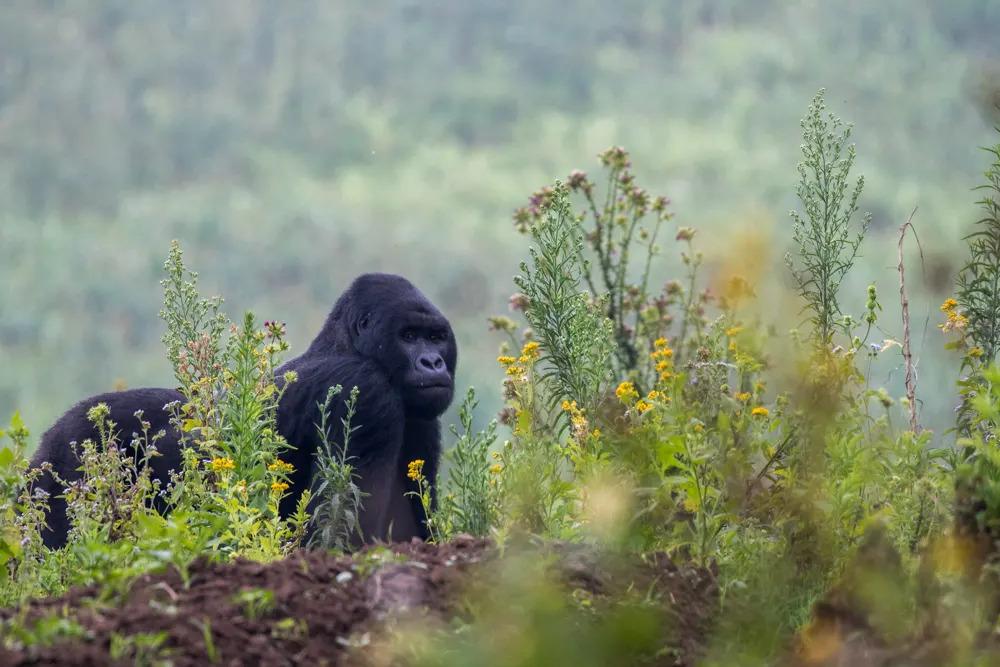 drc-silverback-gorilla