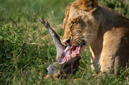 A lioness enjoying her kill of a baby warthog