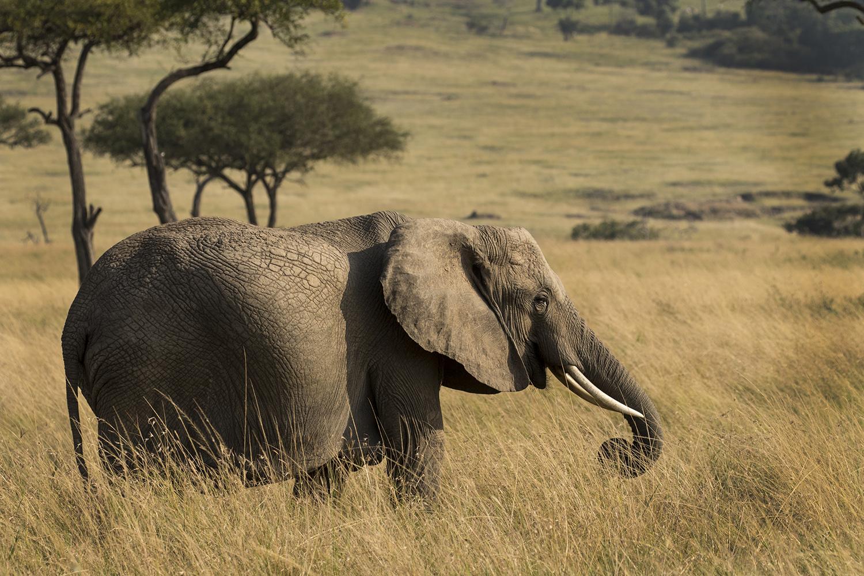 Elein's Elephant shot