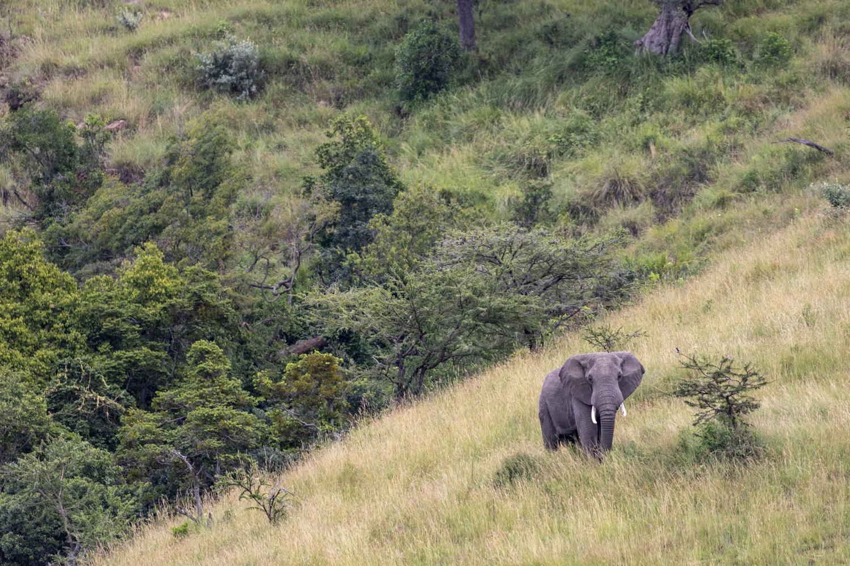ELEPHANT ON HILL