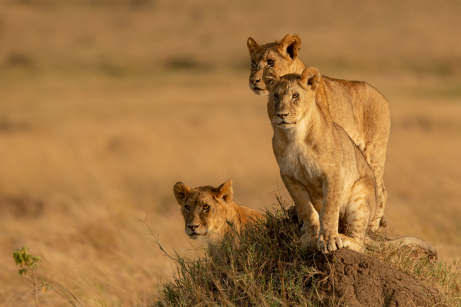 Lion cubs on overlooking the mara