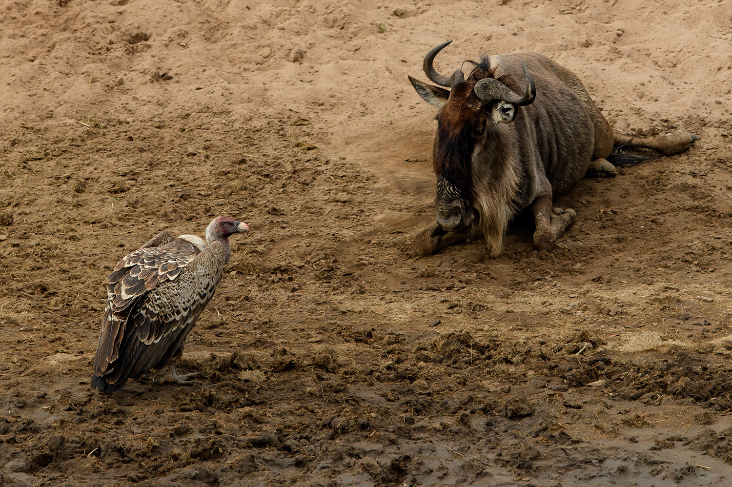 Wildebeest and a vulture the great migration