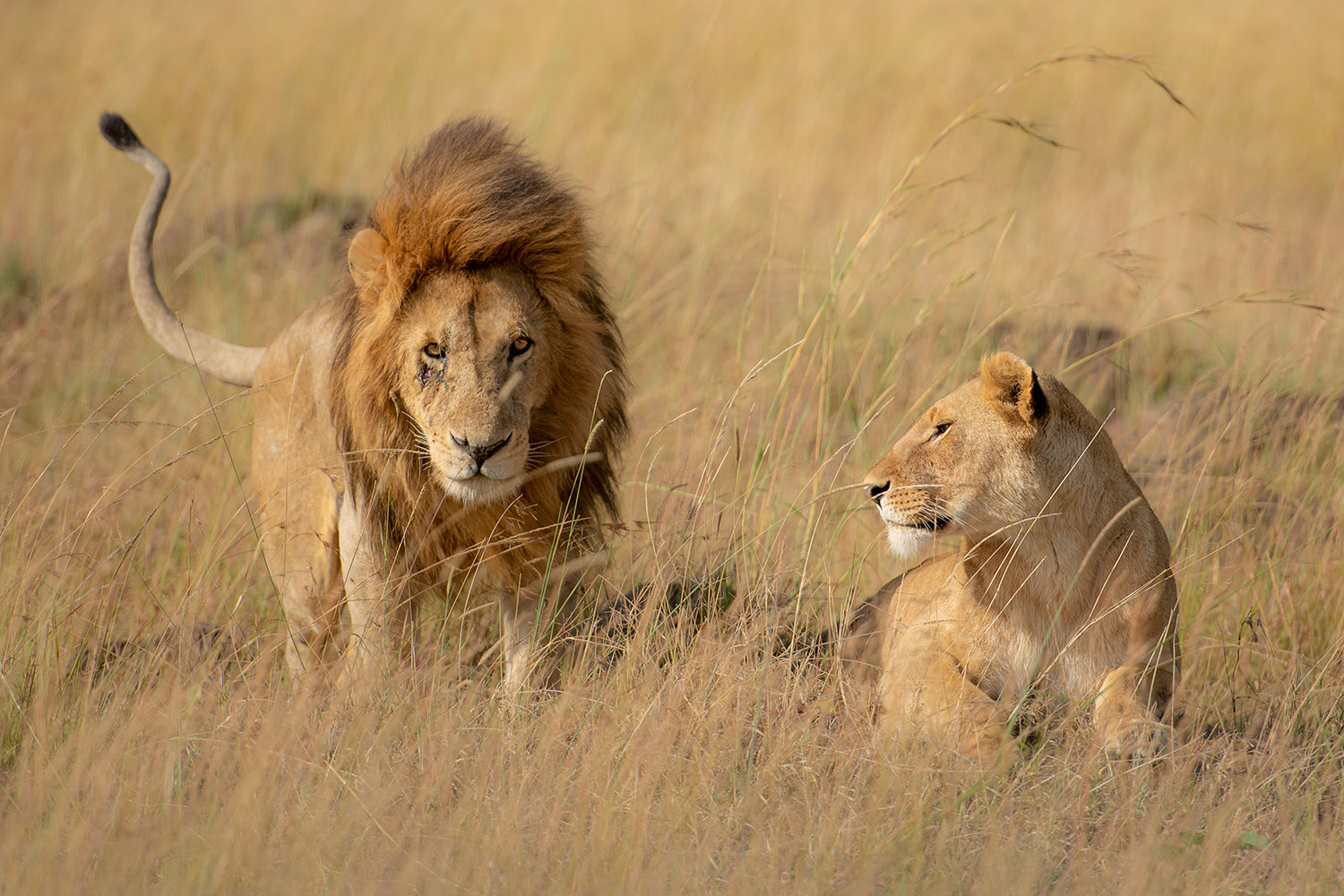 a loving lion and lioness couple Maasai Mara
