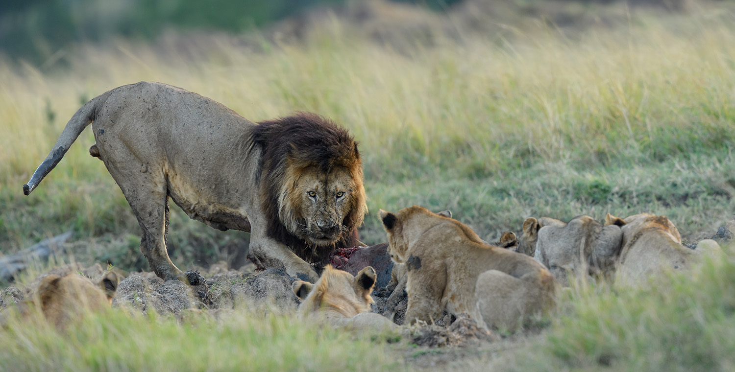 A family of lions feeding