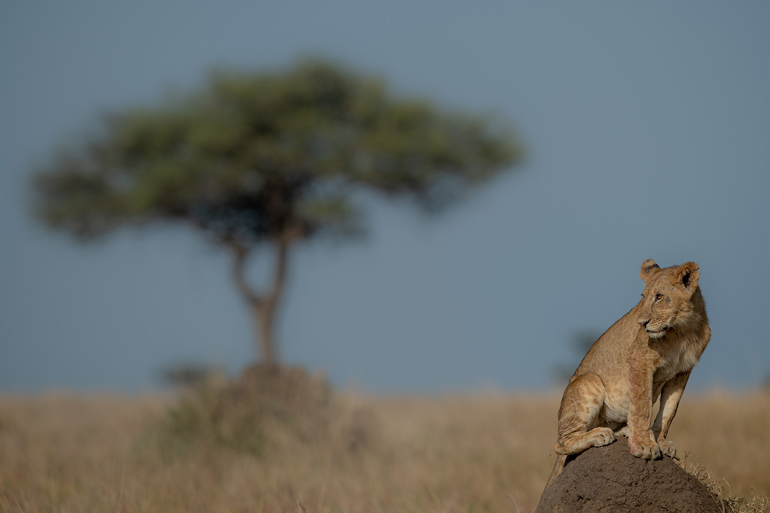 Lion on the lookout in the mara plains