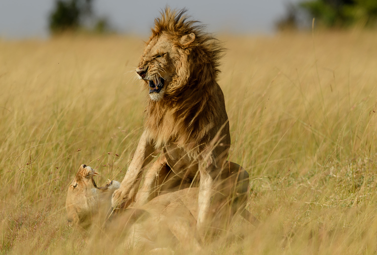 Lions Mating in the Maasai Mara - raw emotion