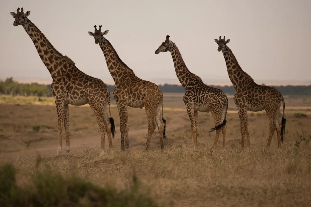 An orderly journey of Giraffe