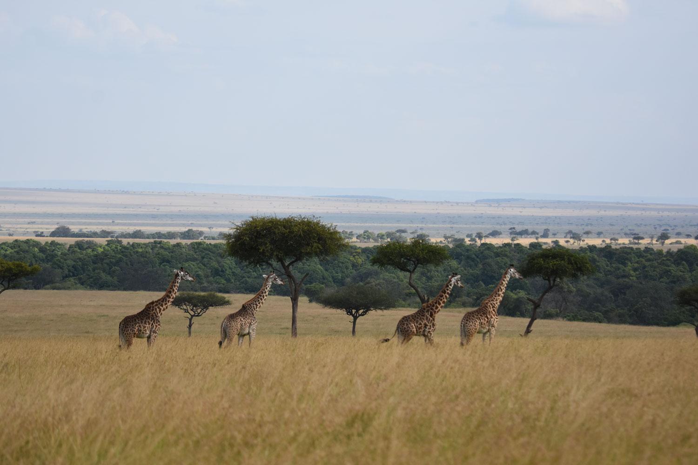 Giraffes from afar
