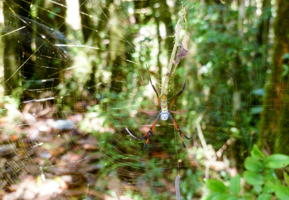 Golden-Orb-weaver-spider