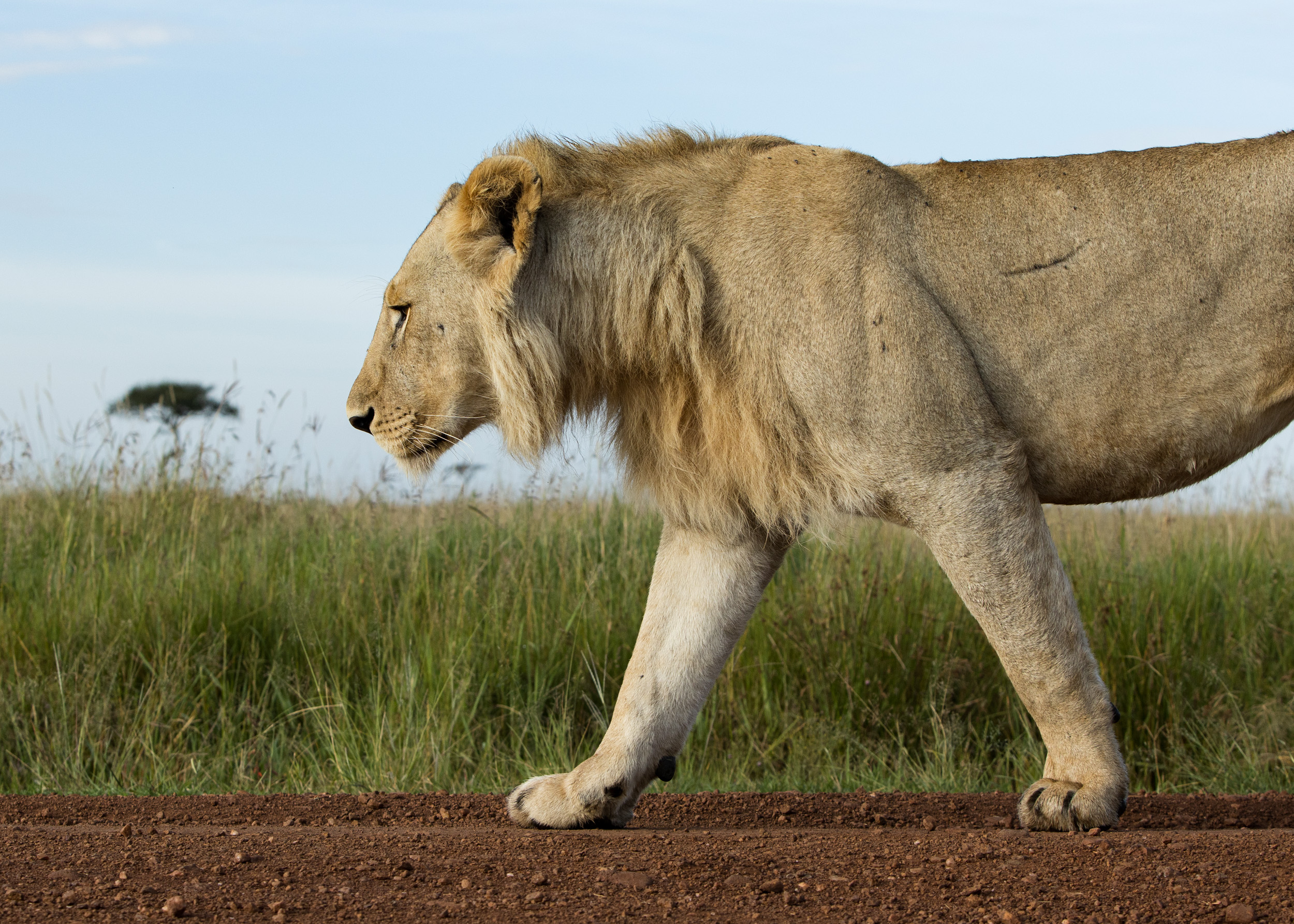 male lion from low walking