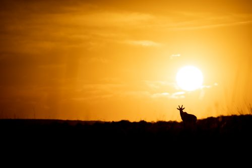 A topi is silhouetted against a magnificent Mara sunrise
