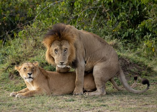 The Bila Shaka males have taken over two prides in the Triangle already: Mugoro and Paradise