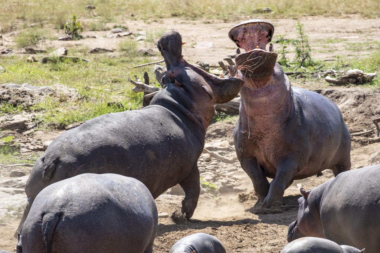 HIPPO FIGHT 01
