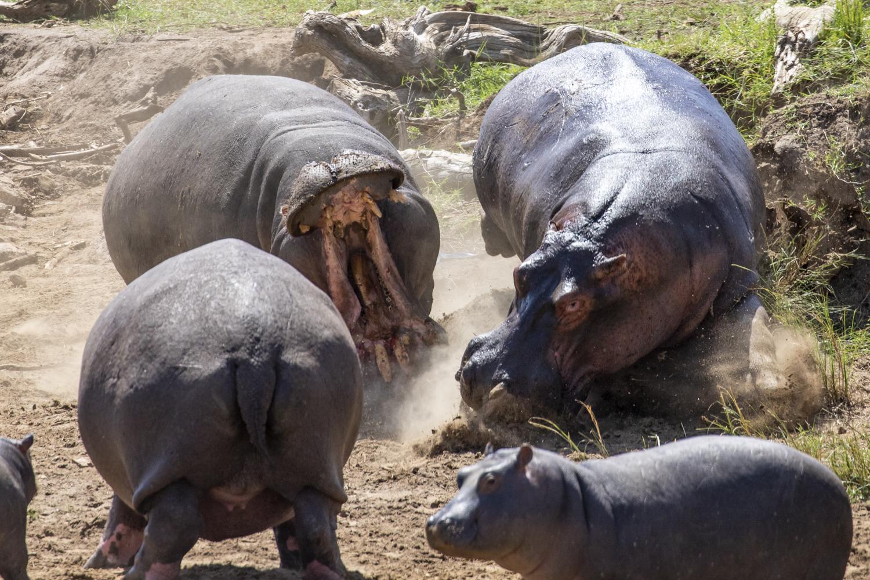 HIPPO FIGHT 02