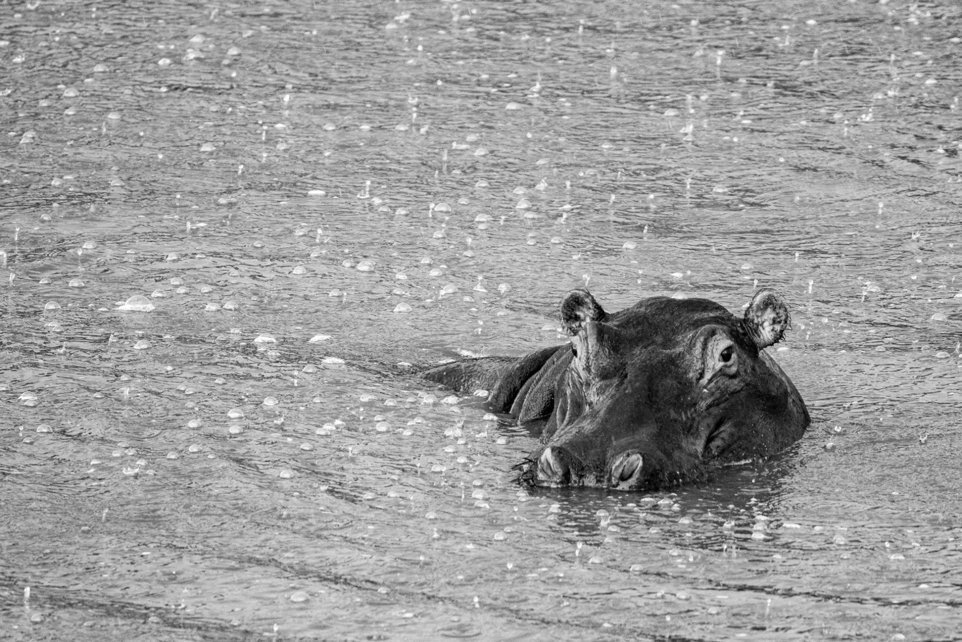 HIPPO IN THE RAIN