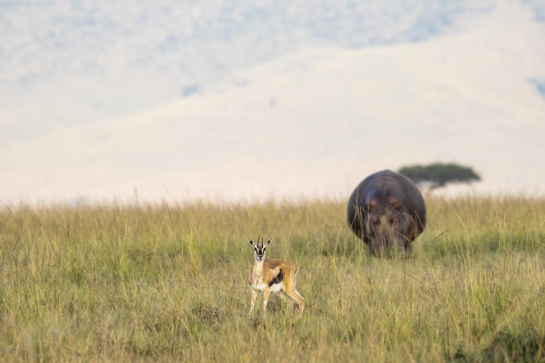 HIPPO STALKING TOMMIE