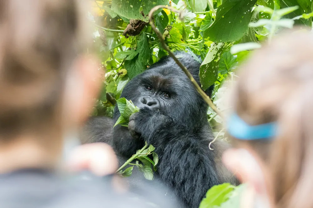 how-close-you-get-to-mountain-gorillas