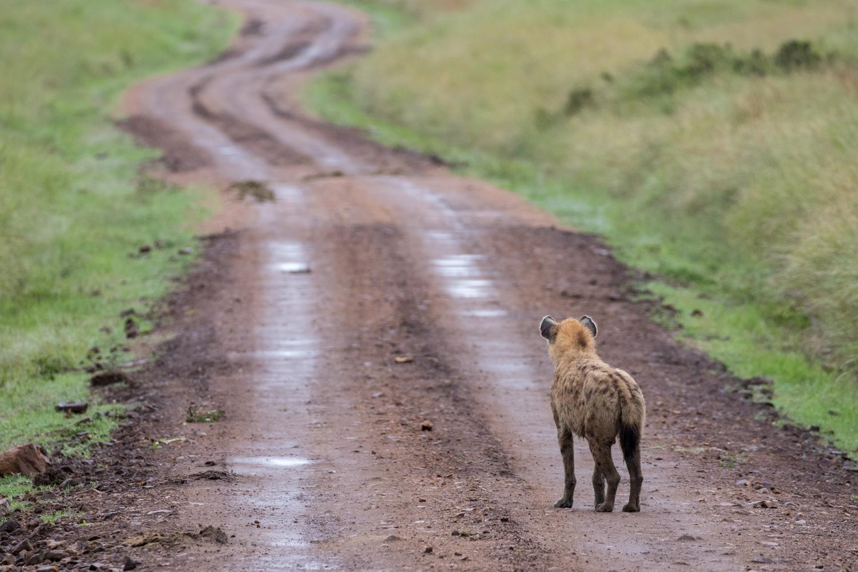 Hyena staring down road