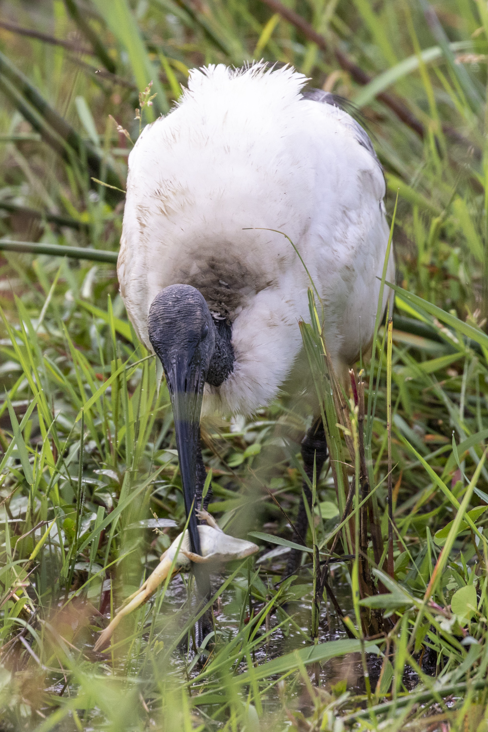 IBIS WITH FROG