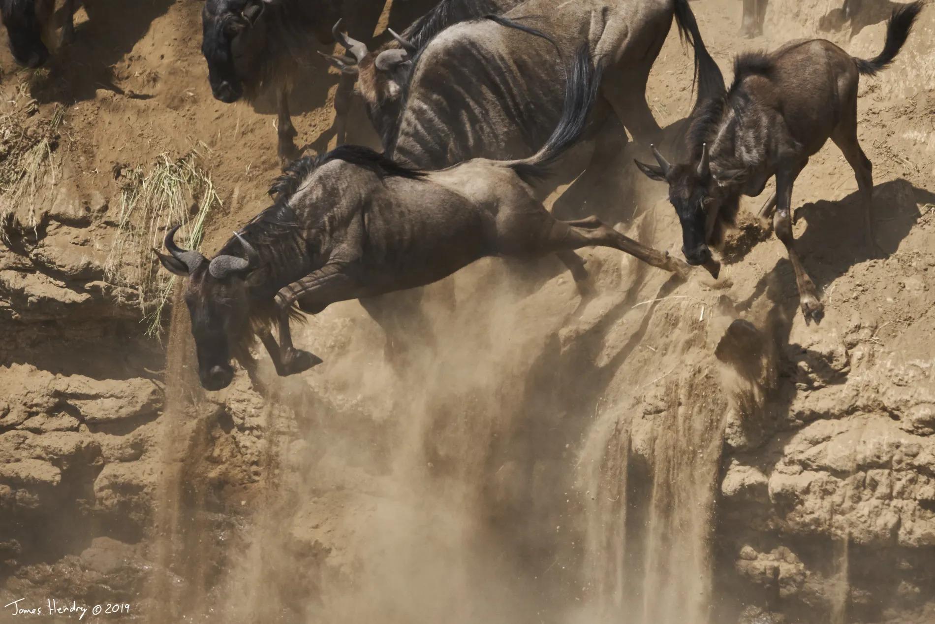 James Hendry_Wildebeest leap