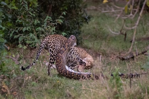 Python and leopard battle - Image courtesy of Angama guest Mike Welton