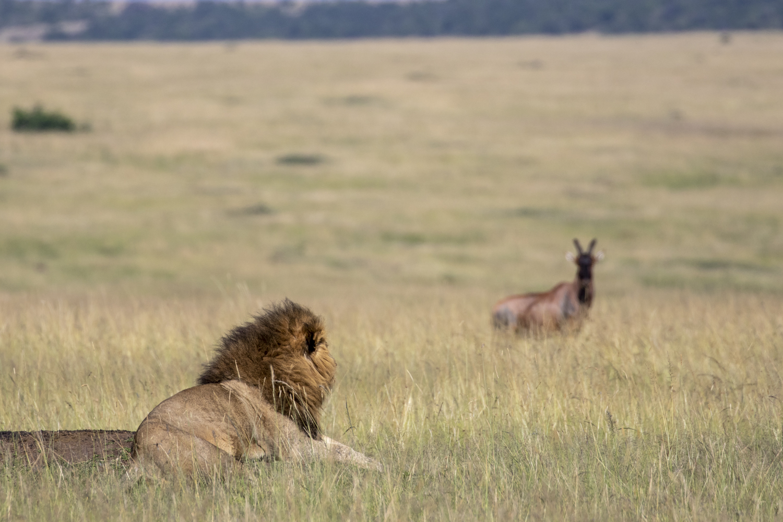 LION & TOPI