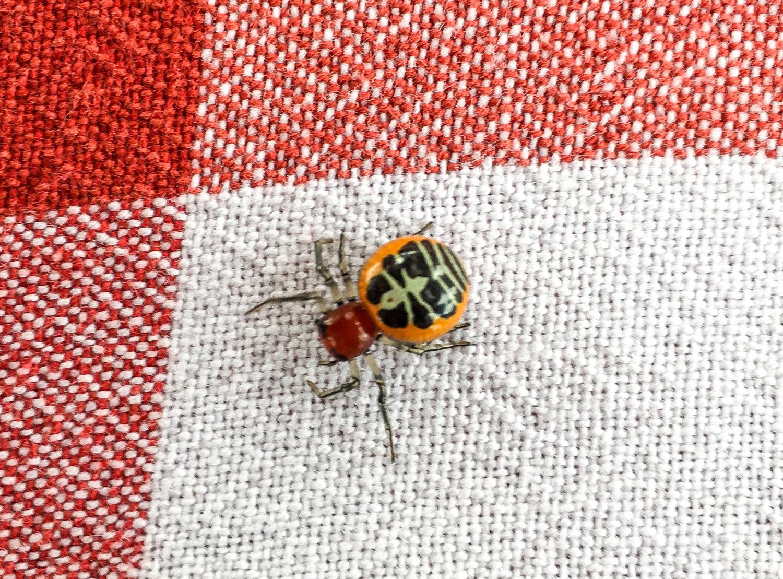 Ladybird-Crab-Spider