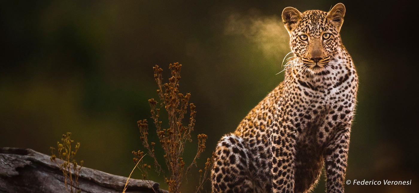 Leopard - Federico Veronesi