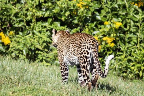 Leopard in Aberdares National Park