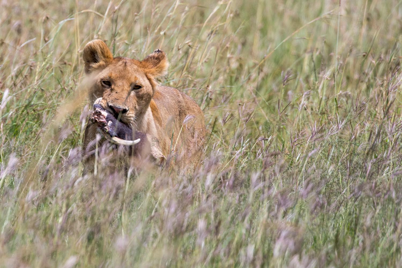 Lion & Warthog Skull