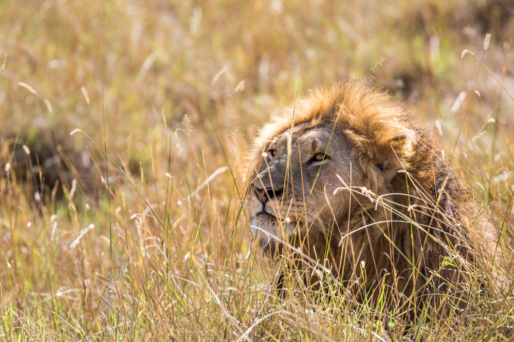 Lion-in-the-grass