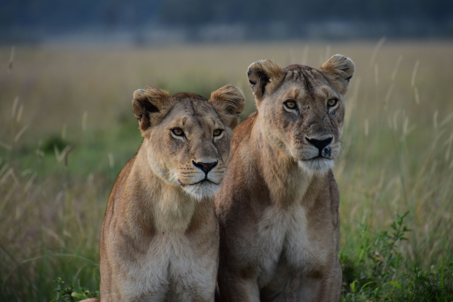 Lionesses pose
