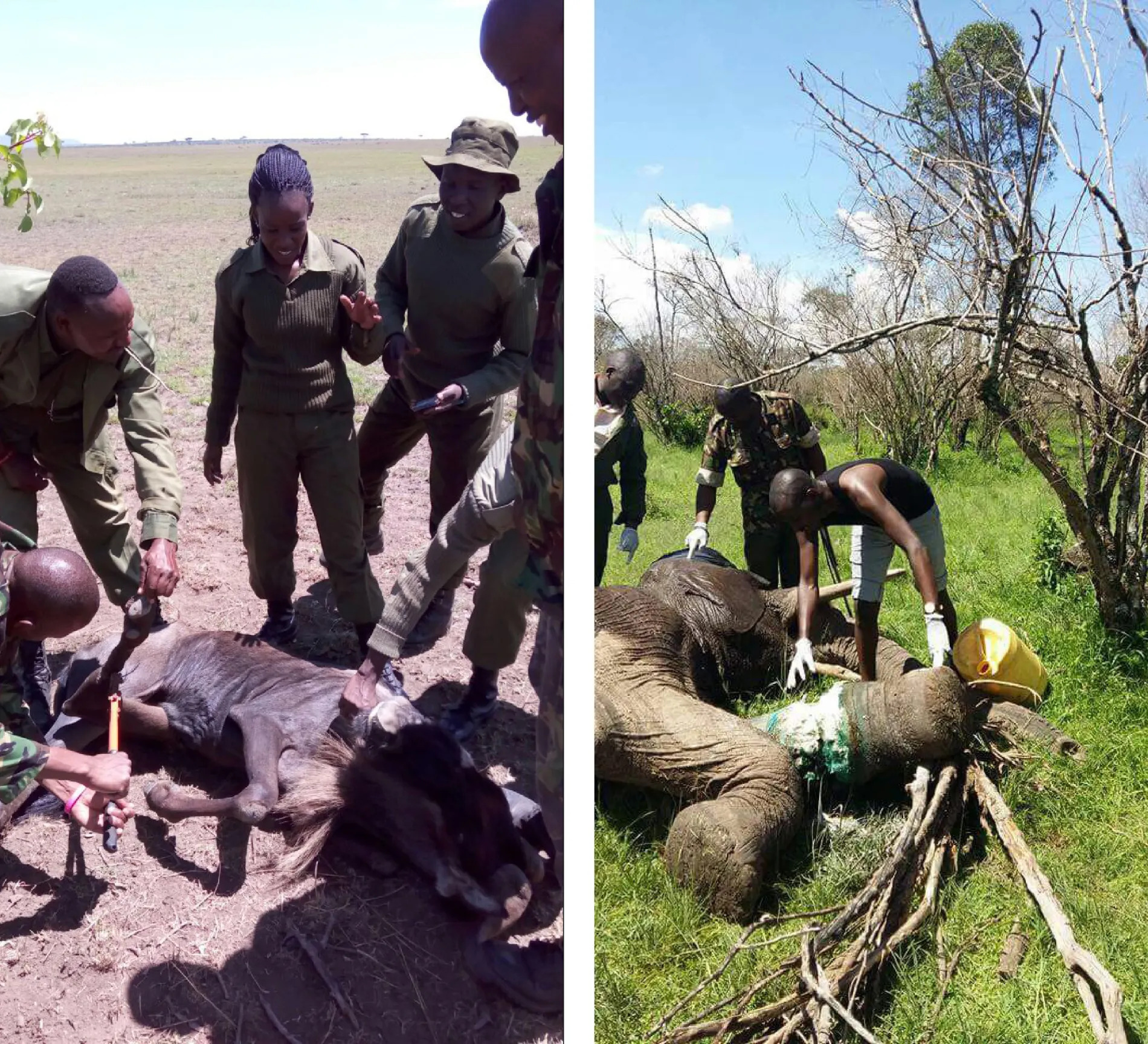CONSERVANCY RANGERS RESCUING A WILDEBEEST AND ELEPHANT FROM SNARES FOUND IN THE MARA TRIANGLE