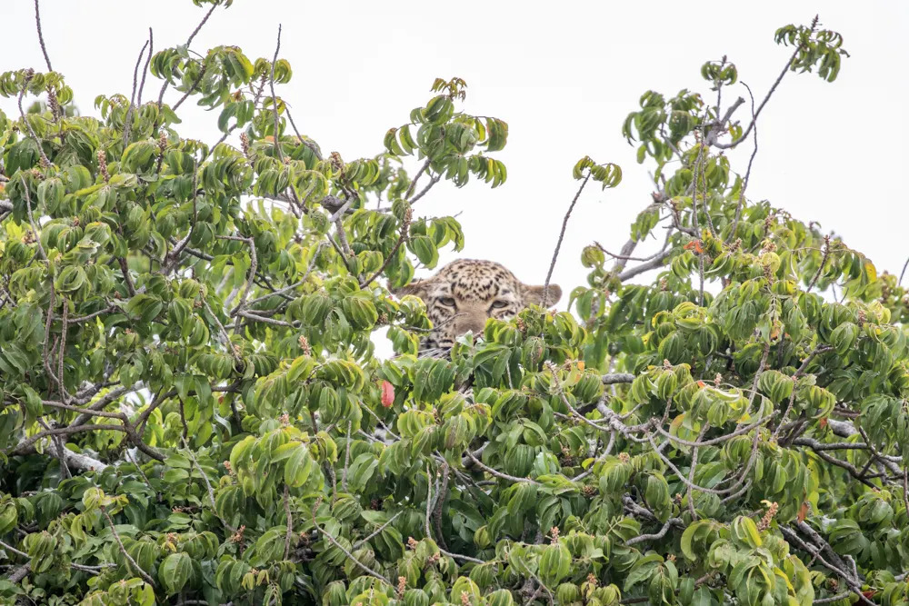 mara-leopard-in-the-green-season