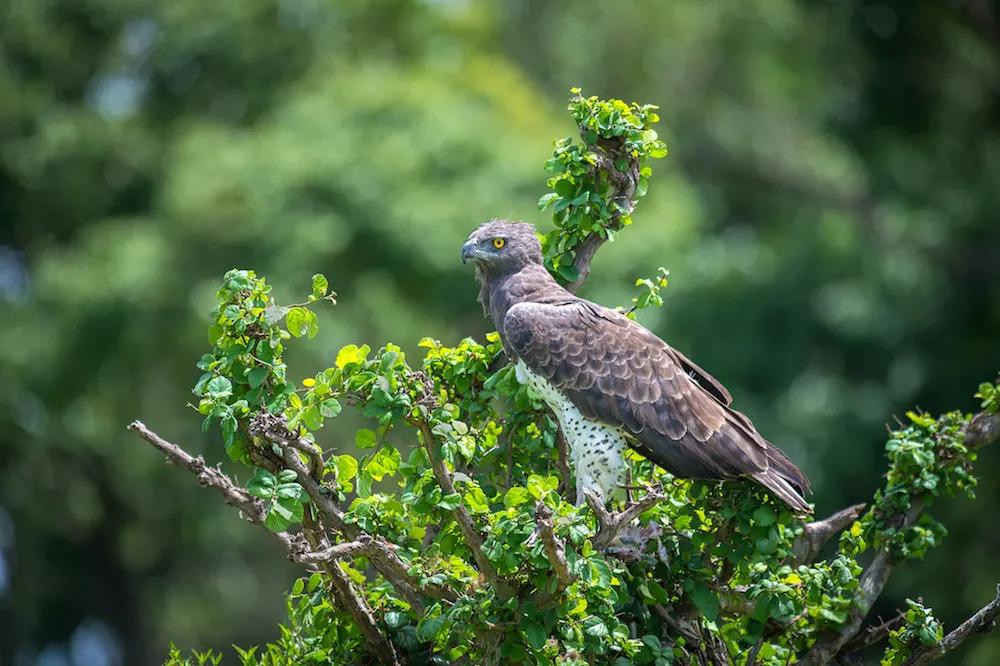 marshall-eagle-in-green-season