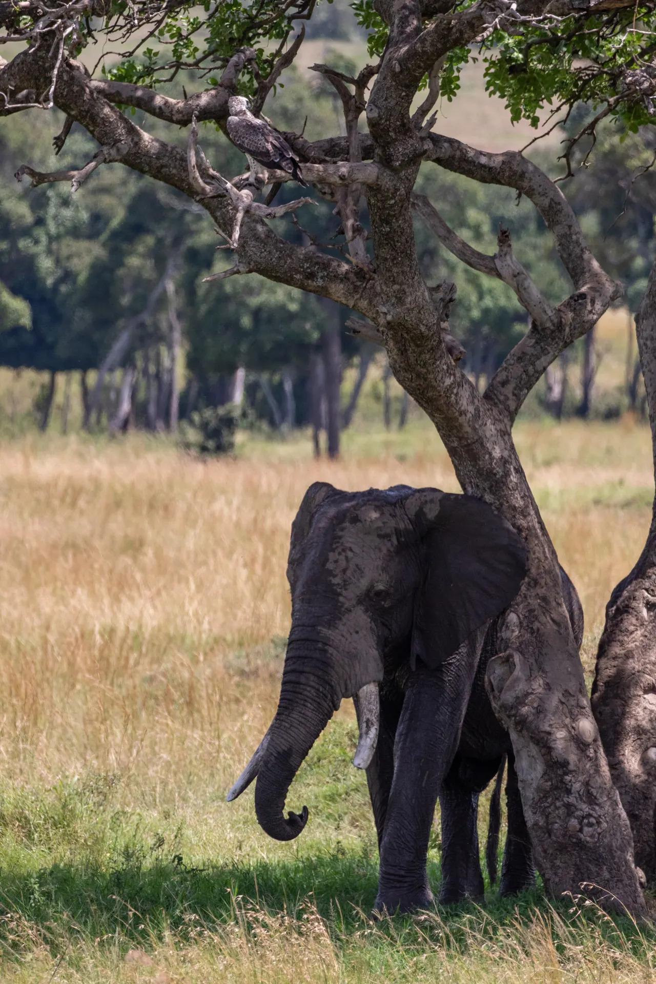 Martial Eagle and Elephant