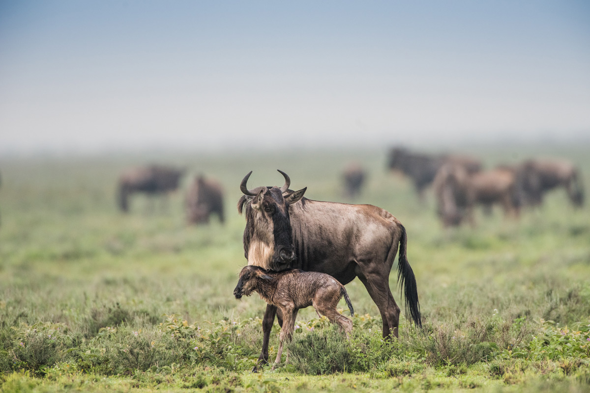 New-born-wildebeest
