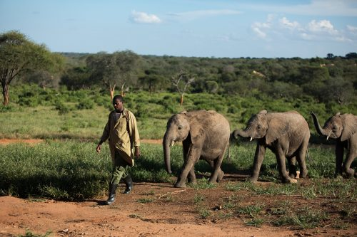 An elephant keeper walks his group of orphaned elephants out into the wild
