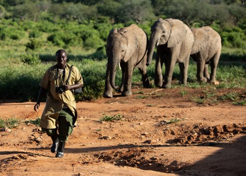 One of the Ithumba elephant keepers leads the elephants back to the enclosure after playtime