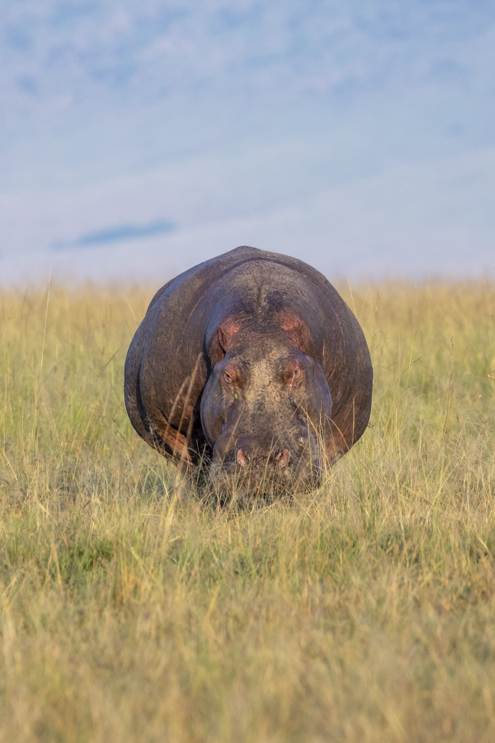ONCOMING HIPPO
